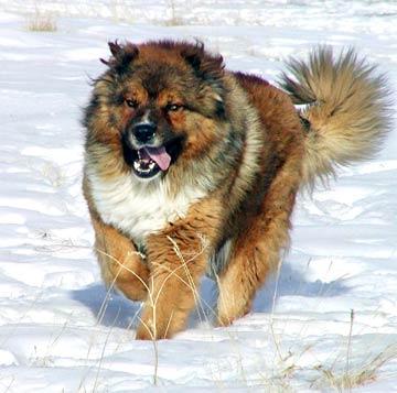caucasian-shepherd