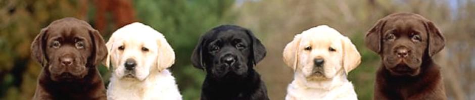 cropped-Labrador-Retriever-I.jpg